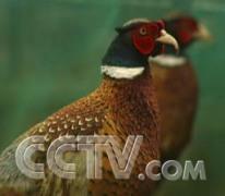 树上橘子树下山鸡 总收入290多万元 鸡 CCTV7致富经 农业致富经 农业