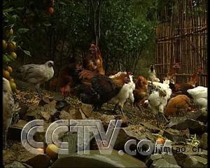 景阳山的小嫩鸡 个子越小越值钱 鸡 农业致富经 CCTV7致富经 农业