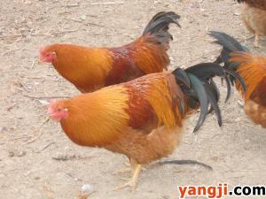 养一群毛亮皮黄味美的阉鸡