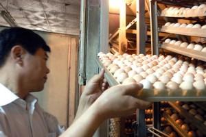 鸡的人工孵化18大常见问题及其原因