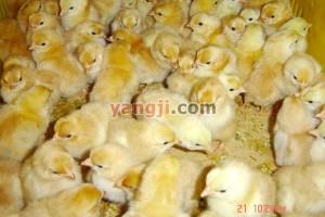 初生雏鸡质量鉴定标准
