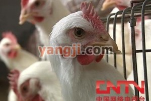 科学养鸡 规范免疫【视频】