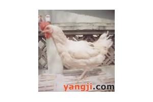 新杨绿壳蛋鸡