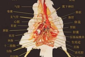 鸡的解剖图