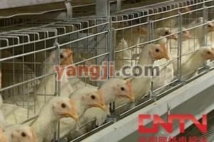 农大三号节粮小型蛋鸡饲养管理技术【视频】
