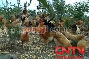 """[每日农经]固始鸡——长出""""商标""""的鸡"""