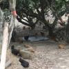 霸王原生态优质土鸡