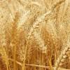 ▲湖北伟望▲现款收购:大小麦、夫皮、次粉、棉粕菜粕等饲料原料
