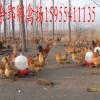 安徽供应优质土鸡公母鉴别苗