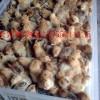 安徽供应土鸡母苗