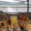家禽饮水益生菌真的很好用吗?