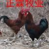 湖北土鸡苗/贵州土鸡苗/四川土鸡苗/山东土鸡苗/湖南土鸡苗