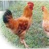 养鸡技术大全/养鸡技术资料