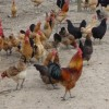 土鸡苗-土鸡种蛋-正霖禽苗特供-电话:15271115500