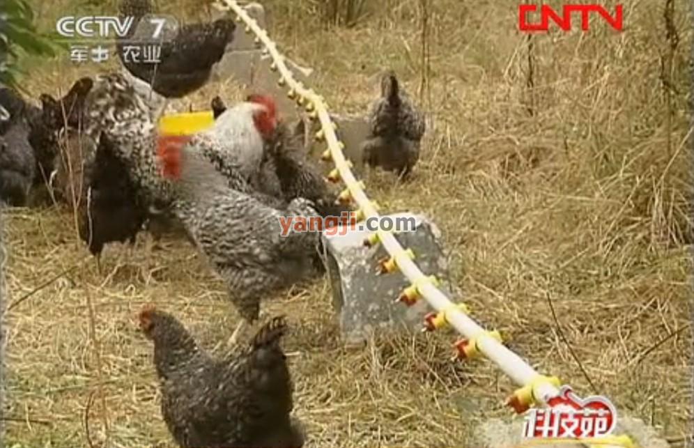 穿越重重矛盾的果园养鸡