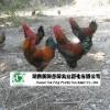 供应重庆黑脚土鸡苗//湖北江汉土鸡苗//陕西土鸡苗//