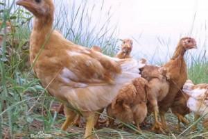 绿色无公害的代表—盐池滩鸡