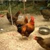 新安店乡哪里有卖小鸡卖鸡苗的,牛氏鸡行20余年