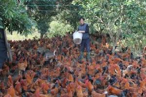 广西江州区果农利用果园养鸡效益高