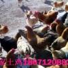 农家散养土鸡出售