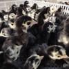 广州科农鸡苗孵化厂