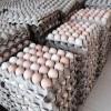 常年出售肉种鸡(种蛋)