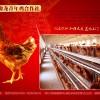 出售青年鸡