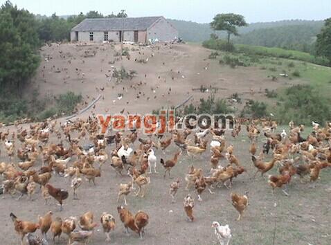 养鸡技术大全