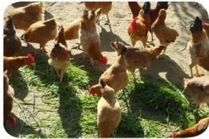 养鸡技术大全(一)-一张图说清养鸡技术需要哪些知识