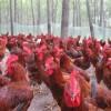 长期代理销售红玉大公鸡   380大公鸡  九斤红大公鸡