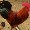 供应快大型红玉公鸡苗  优质笨鸡苗