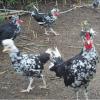 珍珠鸡苗贵妃鸡苗五黑鸡苗黑鸡苗常年供应