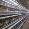 【供】自动化养鸡设备 13223836388