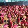 常年供应优质土2鸡苗