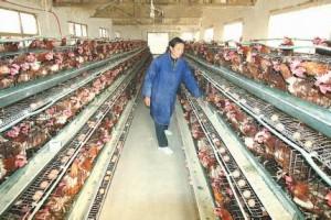 养鸡技术-三高青脚黄鸡3号配套系养殖技术