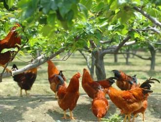 夏季养鸡技术要点 ()