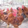 出售5个月左右的红玉公鸡。