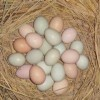 供应散养土鸡种蛋13367101566