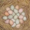 供应正宗土鸡种蛋13367101566