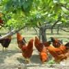 山林放养土鸡苗 成活率高的优质土鸡苗13797700278