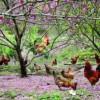 果园放养优质土鸡苗13797700278