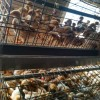 出售预定优质青年鸡
