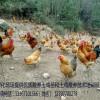 供应成活高的优质土鸡苗13797700278