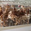 青年鸡价格,江苏裕丰禽业专注海兰褐青年鸡疫苗齐全,销量领先