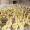 2米高白色纯料塑料养鸡网 塑料育雏网