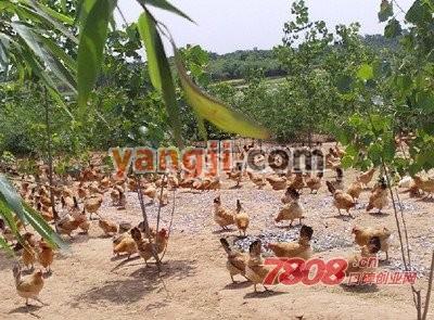 养一千只土鸡的成本需要多少钱
