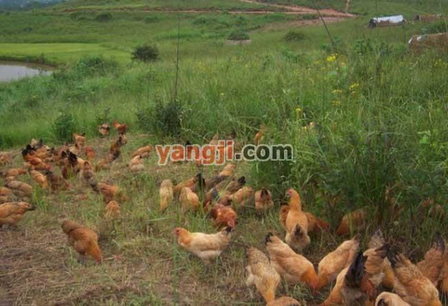 土鸡散养鸡舍建设