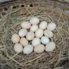 厂家薄利直销优质散养土鸡蛋