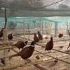 哪里有卖野鸡的山鸡多少钱一只