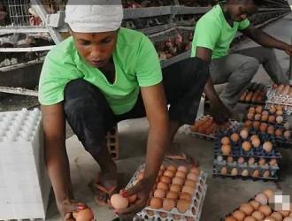 中国人在非洲热带丛林建起生态养鸡场